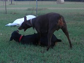 Black Male dobie and Red Female Dobie