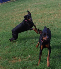 Male and Female Black Dobermans